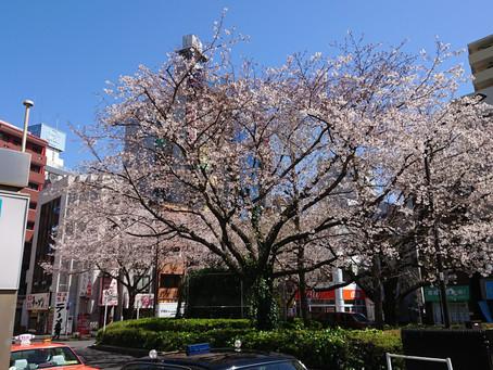 駒込駅前の桜(染井吉野)が見頃です。