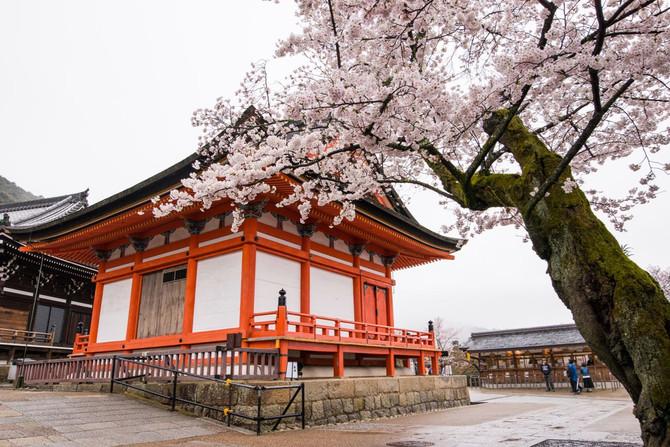 Kyoto sakura madness