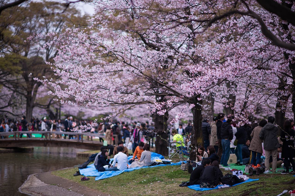 Cherry blossom viewing in Japan