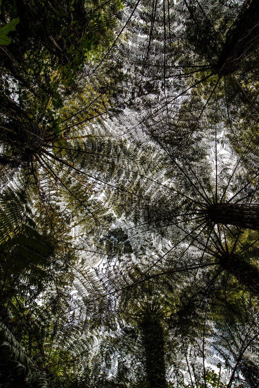 Fern canopy