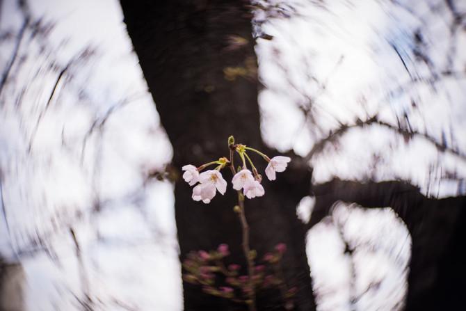 Sakura blossom at 70%!