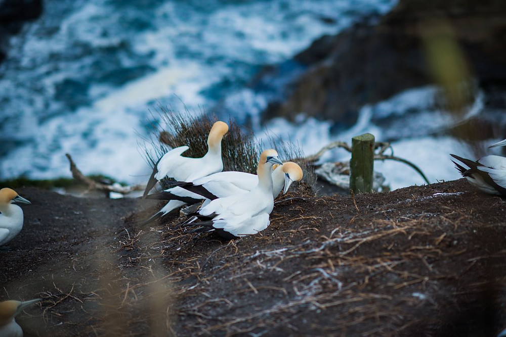 pair of gannets in Muriwai, West Auckland