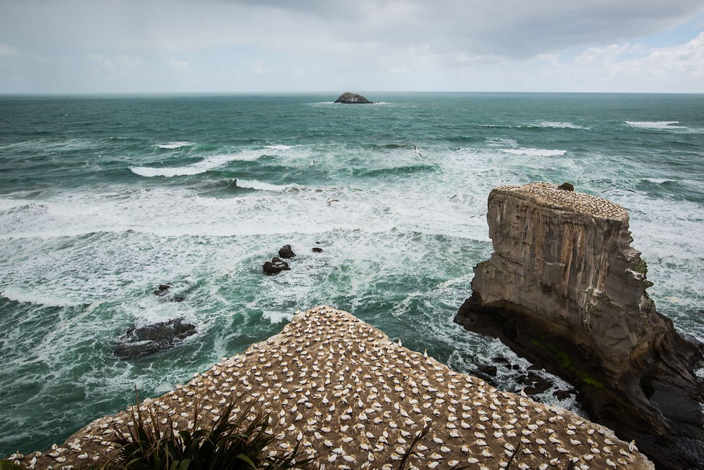 Gannet colony at Muriwai, West Auckland
