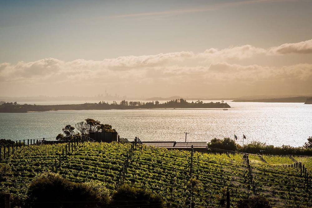 Sunset over vineyard Waiheke