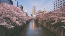 Tokyo sakura continued