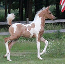 Pinto Arabian Horses
