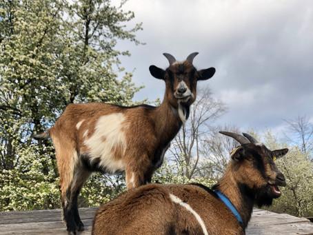 Wir haben 2 neue Ziegen