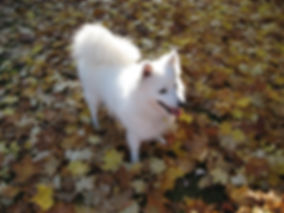 Spitz in autumn leaves