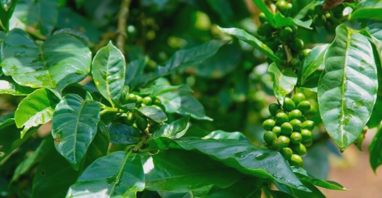 Fresh coffee leaves on coffee tree