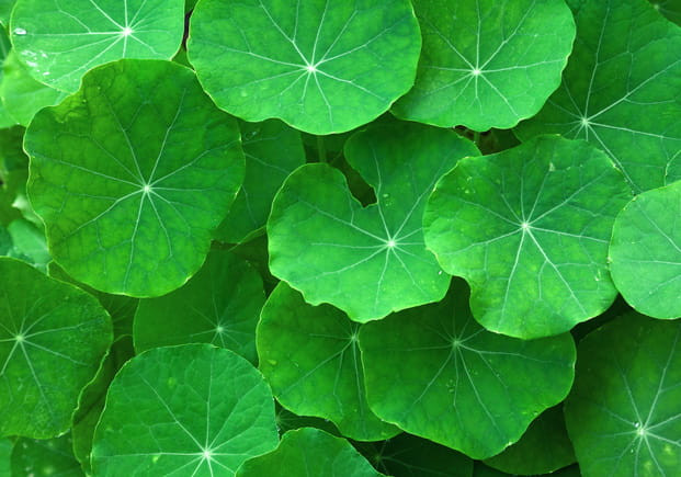 Gotu Kola fresh leaves