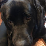 Here is Sierra, a beautiful black Lab th