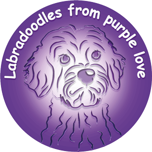 Labradoodles From Purple Love