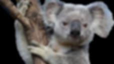 koalas-australia-00523055-og-removebg-pr
