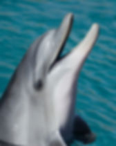 Dolphin at Sea