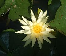 Sarı Nilüfer