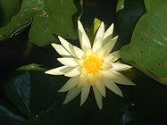 fleur de bach Naturopthe Dijon Naturo Claire Alcalay