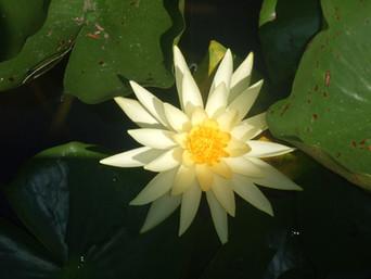 Da lama nasce a flor de lótus