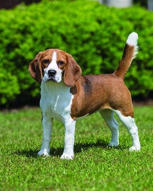 beagle-detail.jpg