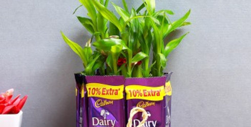 lucky bamboo plant  with  chocolates