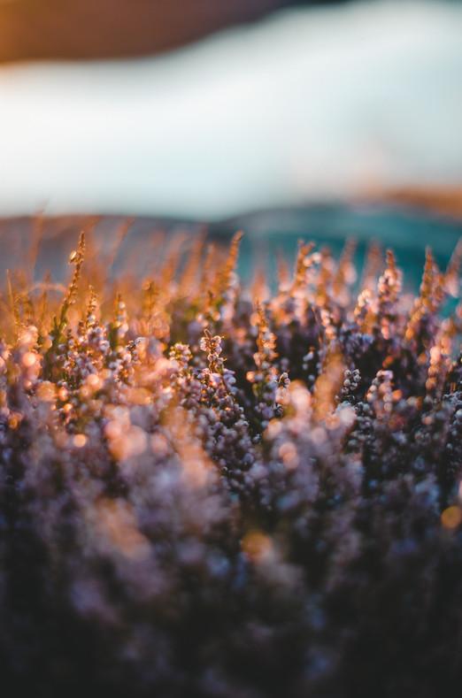 Abendsonne in Schweden auf dem Heidekraut
