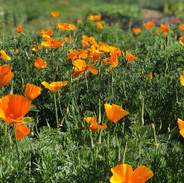 California Poppies at Pennyweight Farm.j
