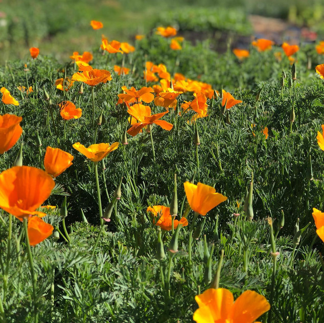 California Poppies at Pennyweight Farm.j
