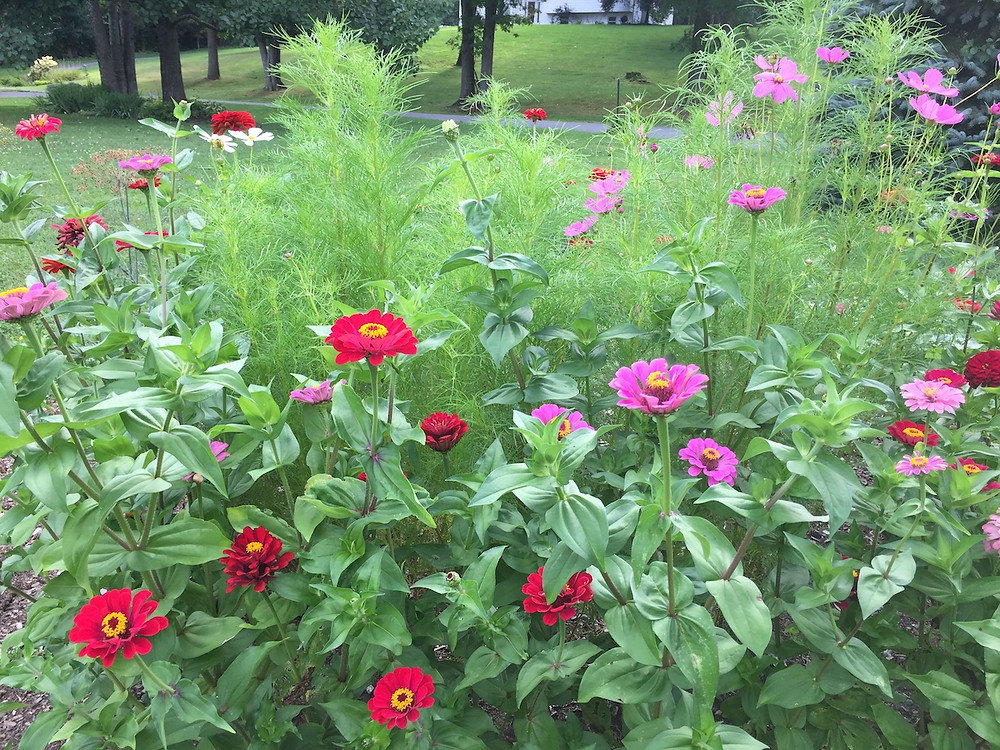 This patch of zinnias and cosmos are just seeds waiting to happen