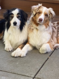Biscotti Enthusiasts: Australian Shepherds Pitch and Quick