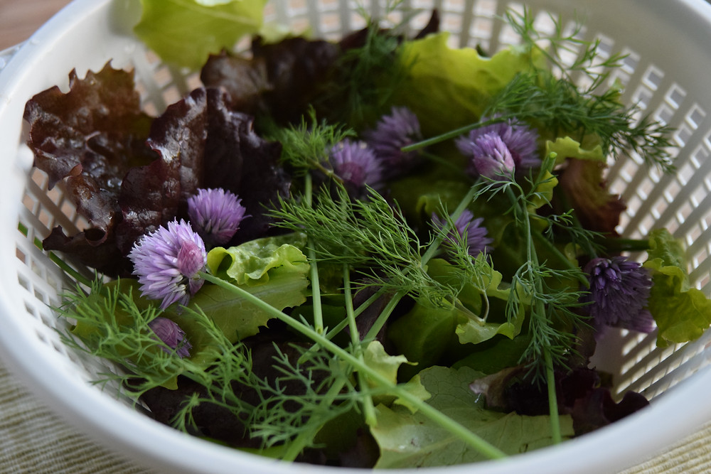 A bowl of just-picked lettuce, dill, and chives for a fresh garden salad