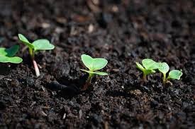 Radish seedlings emerging
