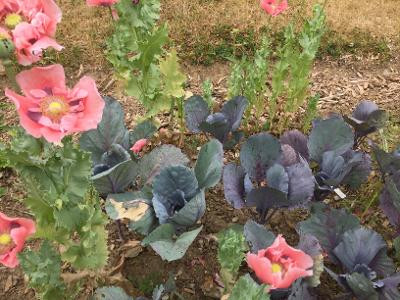 Cabbages and Poppies frolic happily together in my garden
