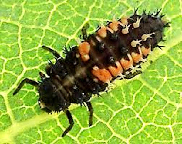 A ladybug larva