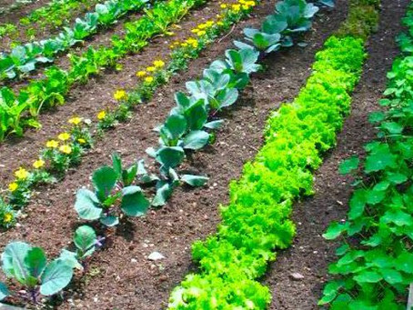 Weed It and Reap: Some Musings on Edible Landscaping
