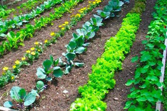 Your standard straight-row backyard vegetable garden
