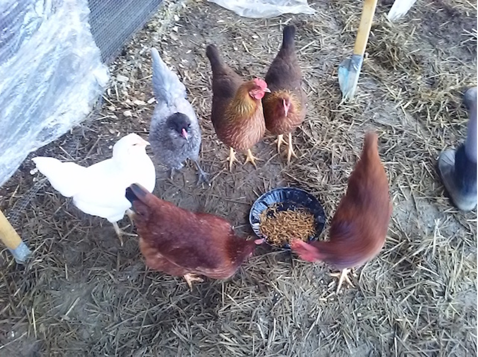 Our flock (clockwise from left): Easter Eggers Marsha and Riley, Welsummers Anna and Elsie, Rhode Island Reds Freda and Peggy