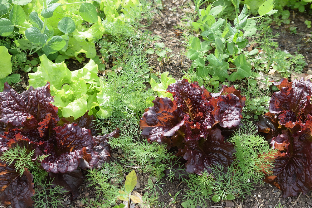 Lettuce and dill blend happily in Victoria's garden