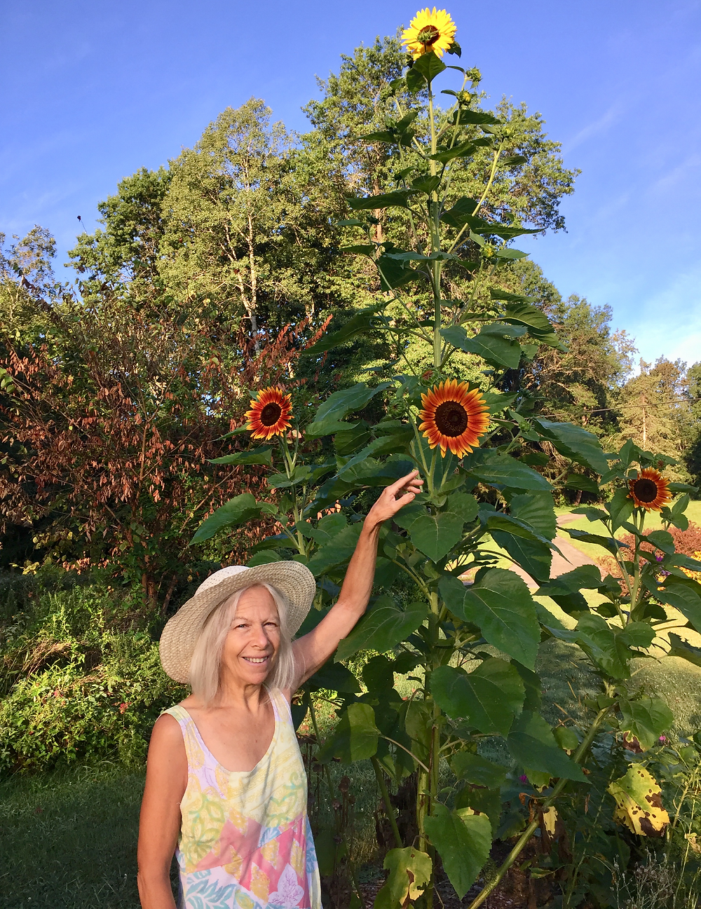 I may need a ladder to harvest the seeds from this sunflower plant!