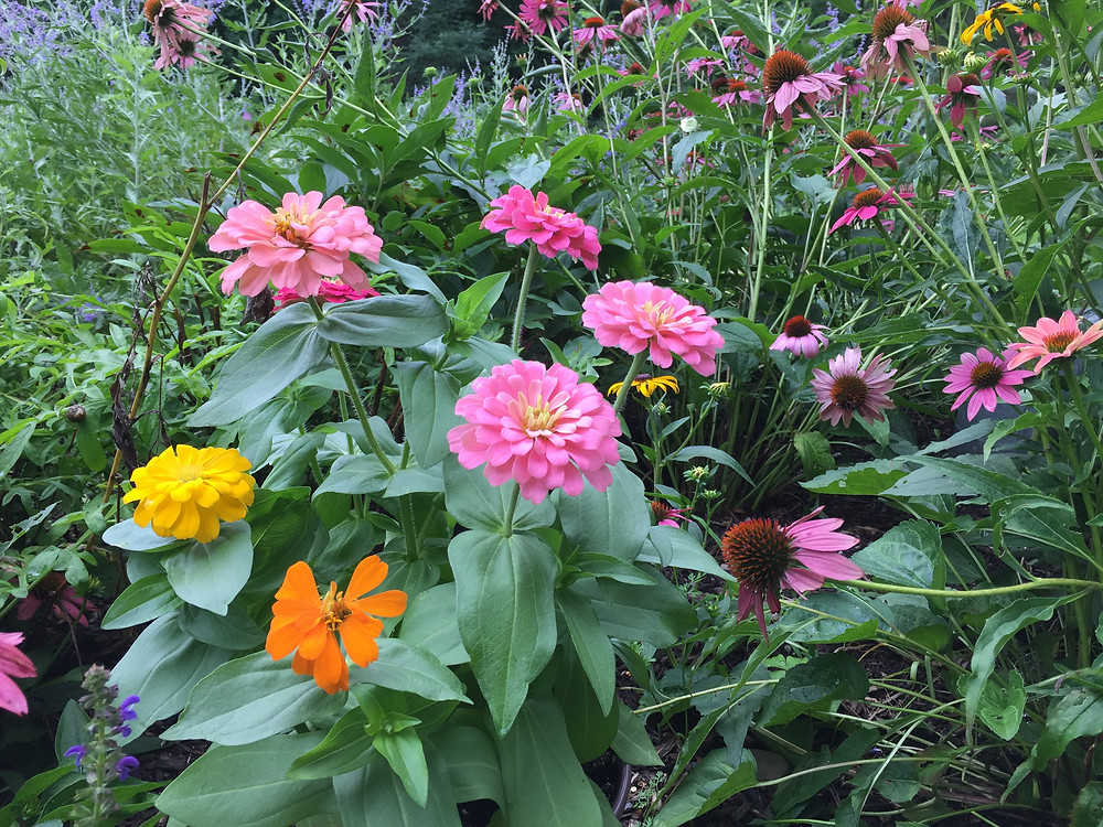 Keep picking your zinnias and they will happily produce more flowers
