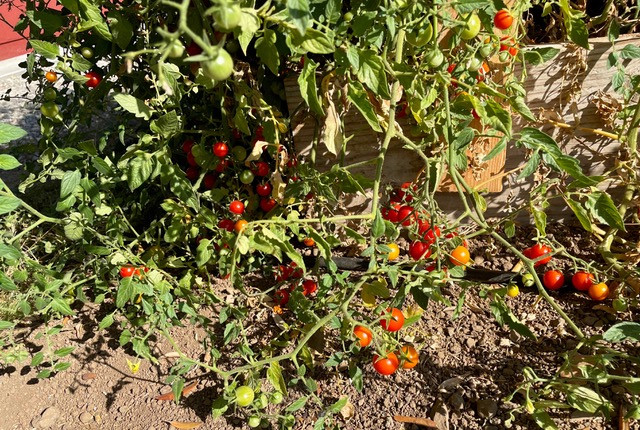 One plant has produced hundreds of cherry tomatoes!