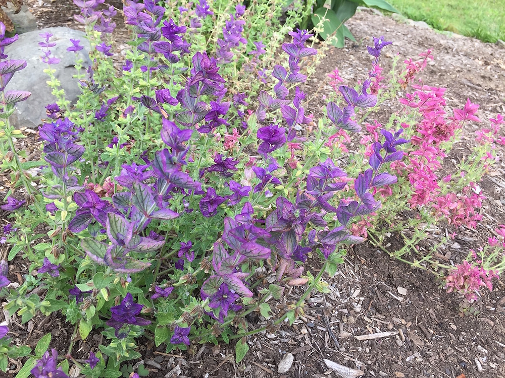 To my delight, this vignette of Clary Sage flowers popped up on its own this spring for a spontaneous display