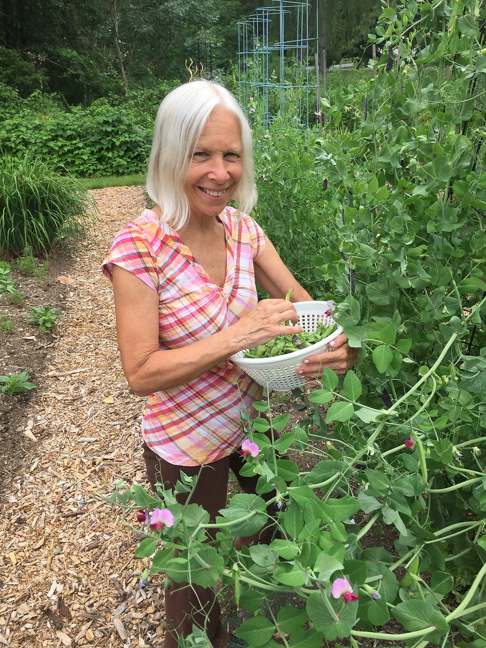 Reaping the harvest of snow peas