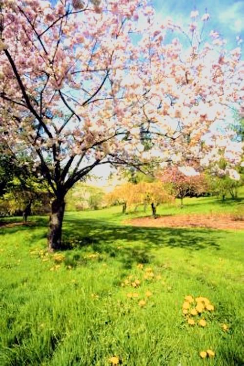 An apple tree in full bloom