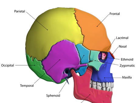 Your Skull IS Constantly Changing Shape!