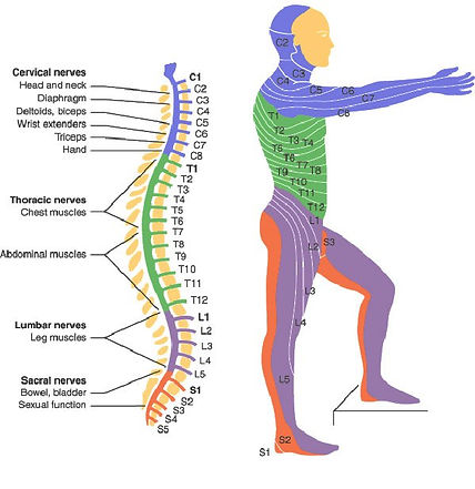 A graphic showing a man, the levels of the spinal cord, and what body part each level affects.