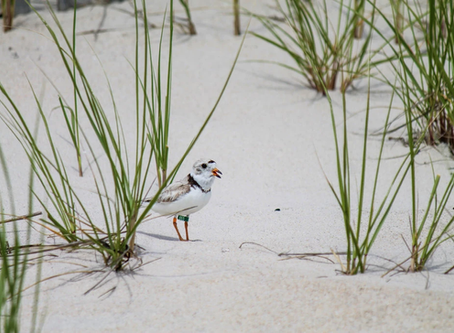 Who Liked Hurricane Sandy? These Tiny, Endangered Birds - New York Times
