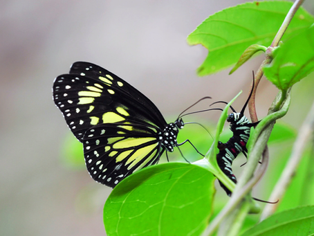 Milkweed Butterflies Are More Murderous Than They Look - New York Times