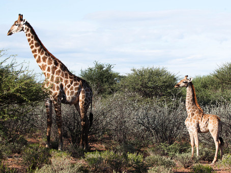 Dwarf Giraffes Discovery Surprises Scientists - New York Times