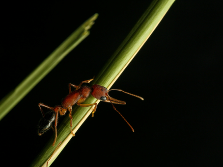 These Ants Shrink Their Brains for a Chance to Become Queen - New York Times