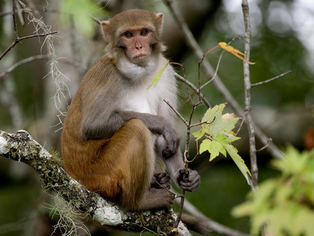 These Wild Monkeys Thrive in Florida—and Carry a Deadly Virus  - National Geographic