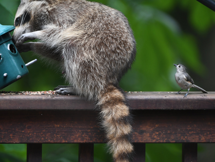 Sneaky Thieves Steal Hair From Foxes, Raccoons, Dogs, Even You - New York Times